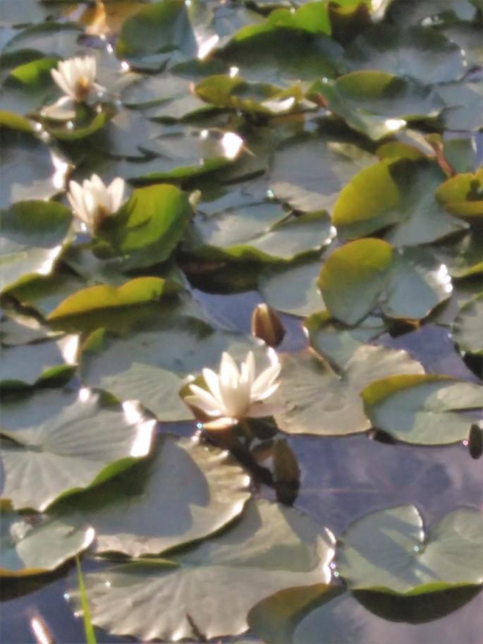 6.Nenúfares en el estanque.